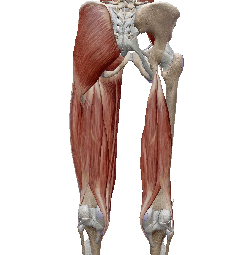 骨盤の歪みの原因は筋肉?ももの裏(ハムストリングス)の筋肉が原因の骨盤の歪みが起こす影響とは?